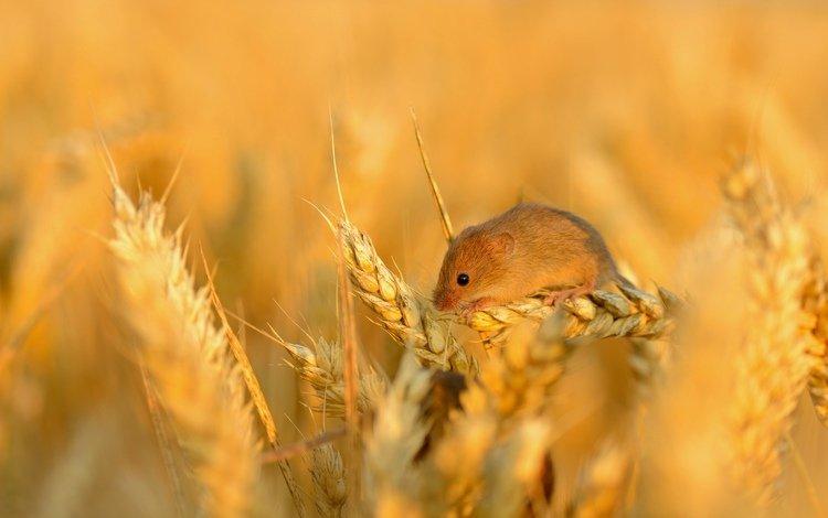 поле, колосья, пшеница, мышь, маленькая, зерно, колосок, field, ears, wheat, mouse, little, grain, spike