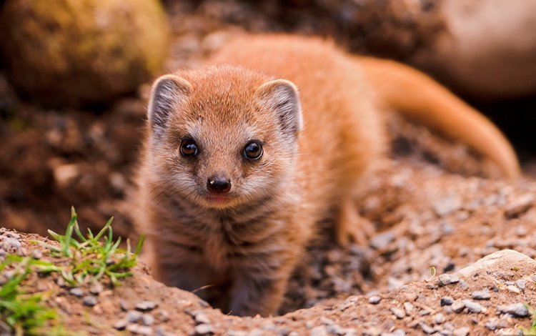 взгляд, животное, мангуст, look, animal, mongoose