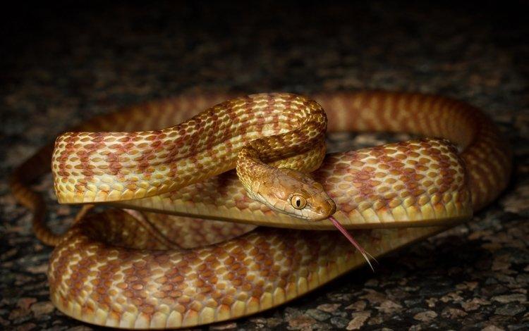 змея, язык, чешуя, коричневая древовидная змея, cameron de jong, snake, language, scales, brown tree snake