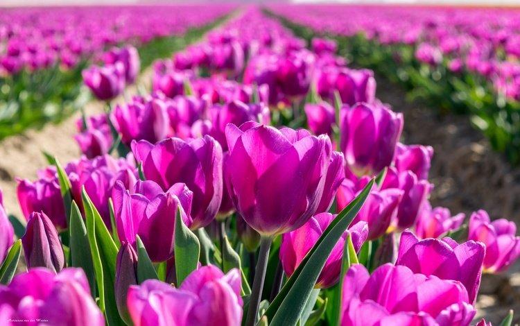 цветы, бутоны, весна, тюльпаны, flowers, buds, spring, tulips
