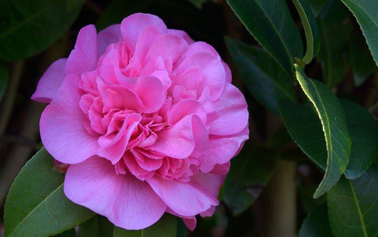 цветение, листья, цветок, бутон, камелия, flowering, leaves, flower, bud, camellia
