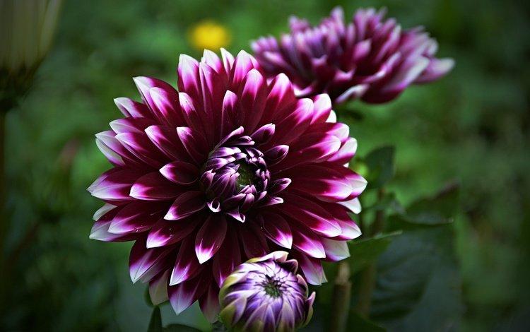 цветок, боке, георгин, flower, bokeh, dahlia