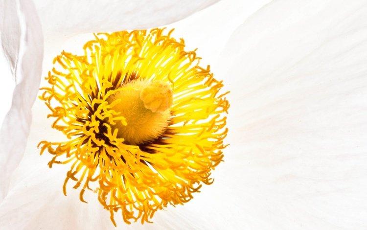 цветок, белый, тычинки, мак, flower, white, stamens, mac
