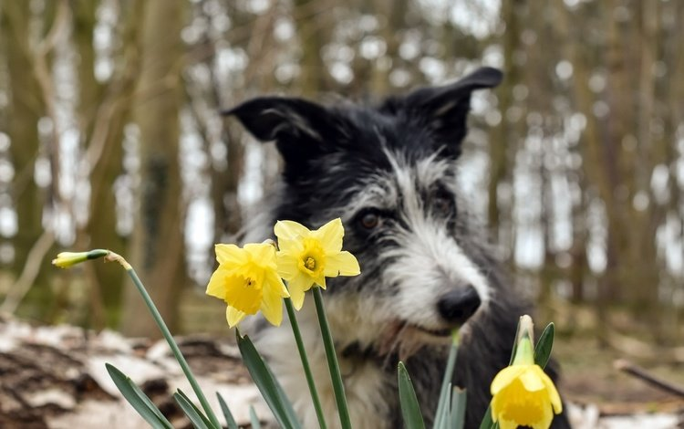 цветы, фон, собака, весна, нарциссы, бордер-колли, pogmomadra, flowers, background, dog, spring, daffodils, the border collie