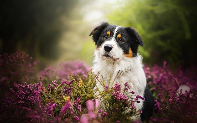 цветы, природа, собака, животное, пес, травы, dackelpuppy, blake, flowers, nature, dog, animal, grass