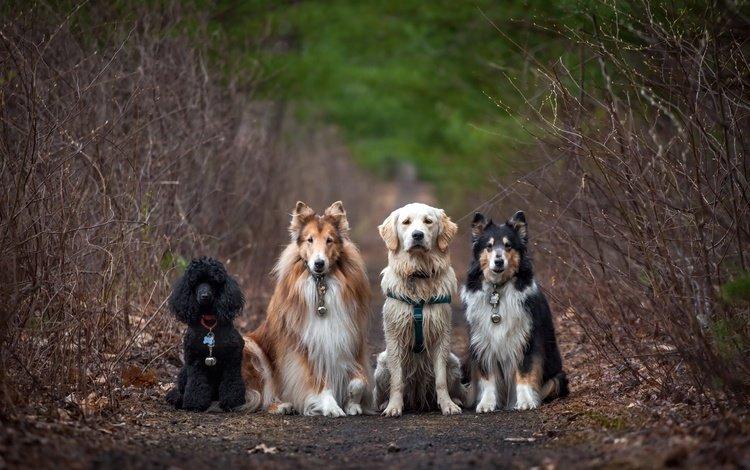 дорога, природа, пудель, собаки, колли, золотистый ретривер, road, nature, poodle, dogs, collie, golden retriever