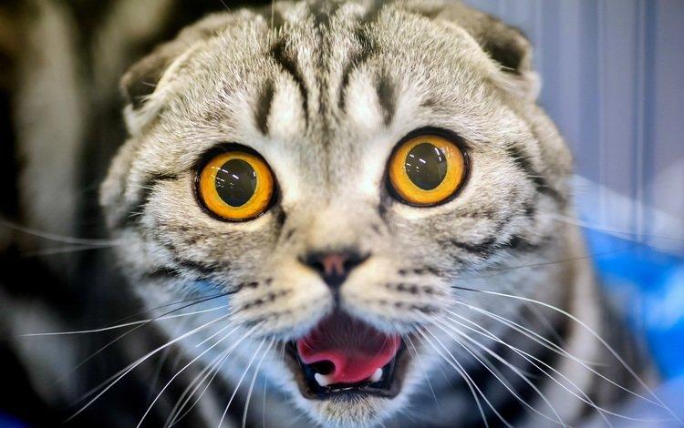 глаза, кот, усы, кошка, клыки, уши, язык, eyes, cat, mustache, fangs, ears, language