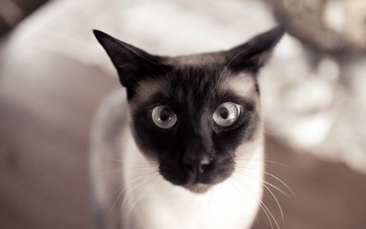 глаза, кот, усы, кошка, взгляд, уши, eyes, cat, mustache, look, ears