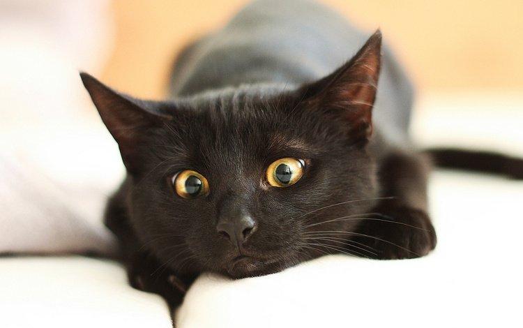 глаза, морда, кот, усы, лапы, кошка, взгляд, черный, eyes, face, cat, mustache, paws, look, black