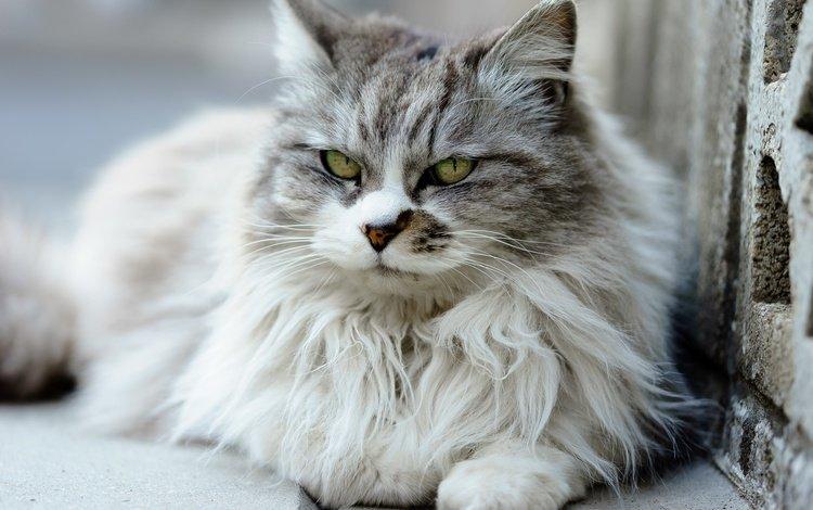 глаза, шерсть, кошка, eyes, wool, cat