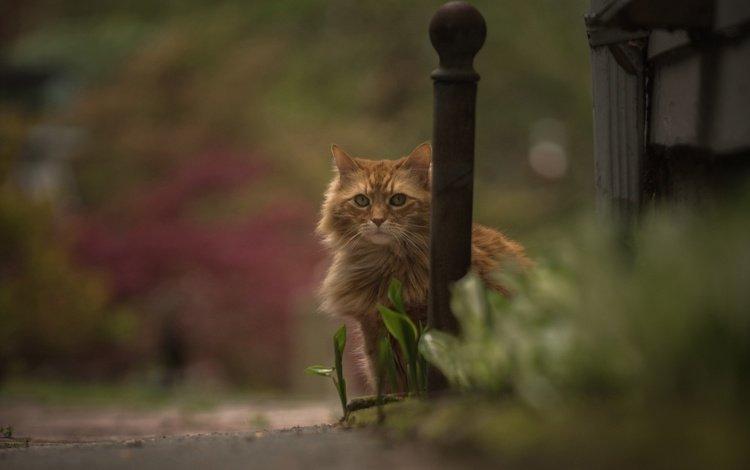 кошка, взгляд, боке, рыжий кот, cat, look, bokeh, red cat