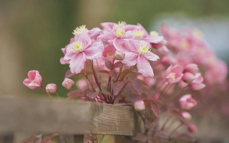 цветы, лепестки, забор, боке, клематис, ломонос, бутончики, flowers, petals, the fence, bokeh, clematis, buds