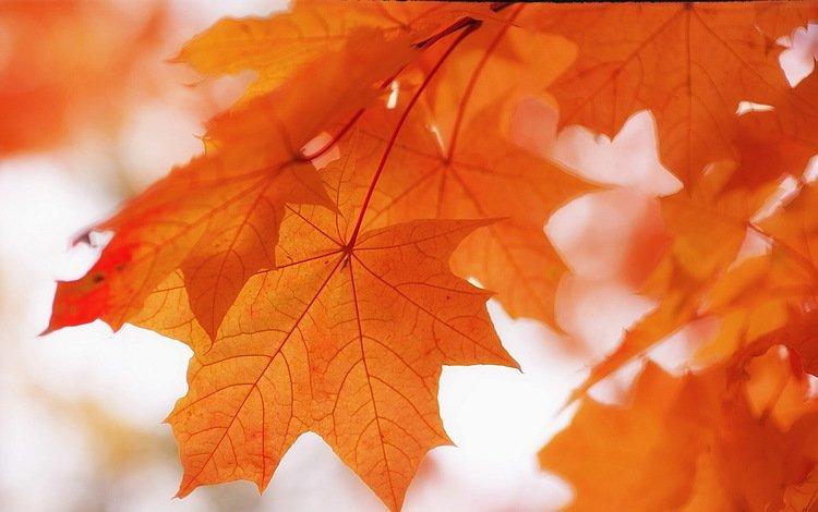 природа, листья, фон, краски, осень, клен, nature, leaves, background, paint, autumn, maple