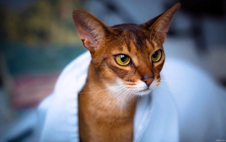 морда, кот, усы, кошка, взгляд, рыжий, face, cat, mustache, look, red