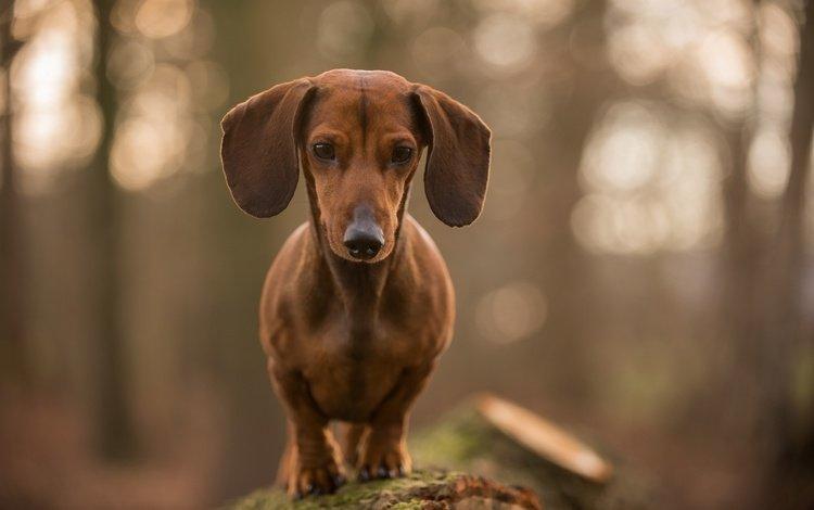 морда, взгляд, собака, друг, такса, face, look, dog, each, dachshund