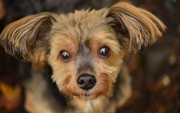 морда, взгляд, собака, щенок, друг, уши, йоркширский терьер, face, look, dog, puppy, each, ears, yorkshire terrier