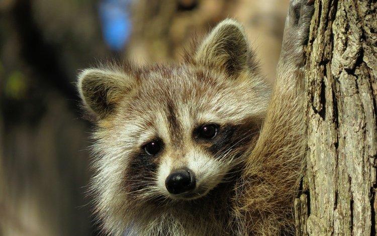 мордочка, взгляд, животное, енот, muzzle, look, animal, raccoon