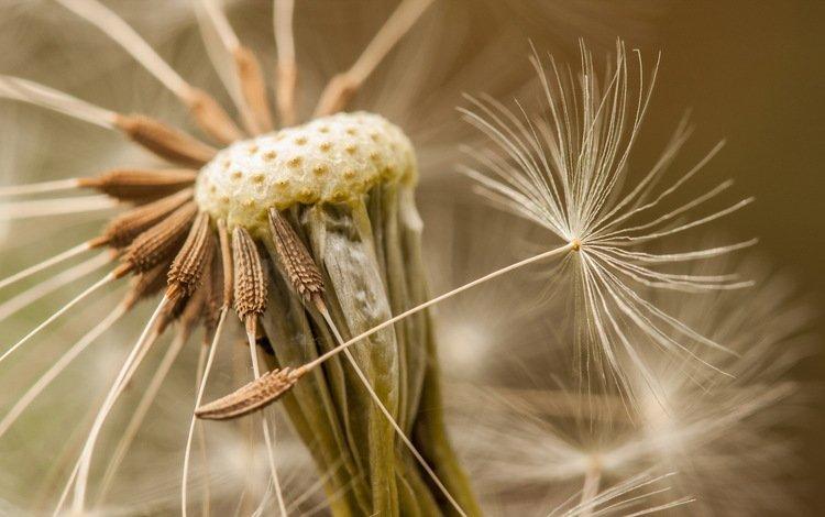 природа, макро, цветок, одуванчик, семена, пушинки, былинки, nature, macro, flower, dandelion, seeds, fuzzes, blade