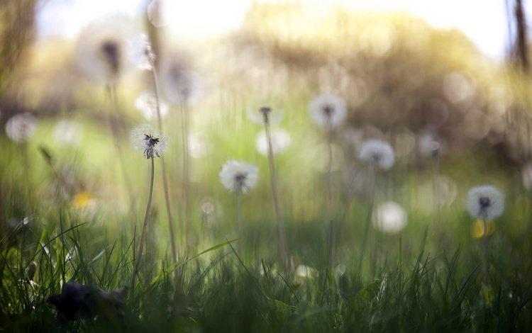цветы, трава, природа, весна, одуванчики, flowers, grass, nature, spring, dandelions