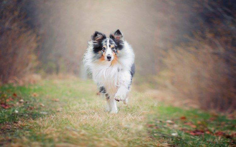 природа, фон, собака, друг, бег, колли, nature, background, dog, each, running, collie