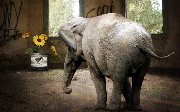 цветы, телевизор, слон, комната, хвост, хобот, flowers, tv, elephant, room, tail, trunk