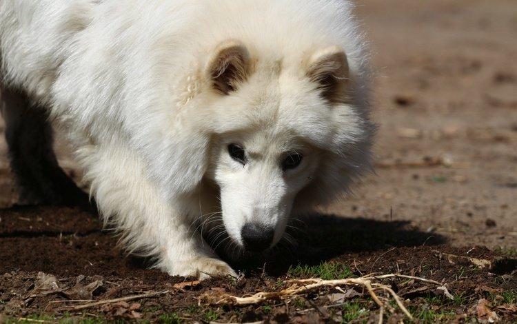 взгляд, белый, собака, травка, лайка, самоед, look, white, dog, weed, laika, samoyed