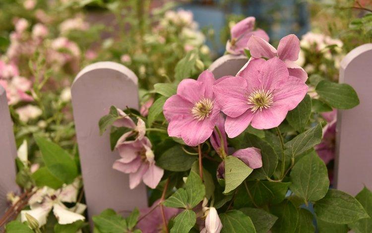 цветы, листья, лепестки, забор, розовые, клематис, flowers, leaves, petals, the fence, pink, clematis