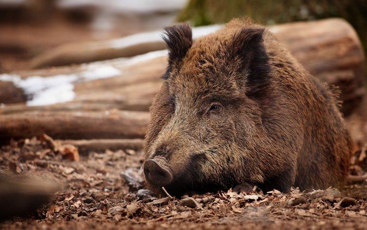 глаза, морда, взгляд, животное, нос, кабан, eyes, face, look, animal, nose, boar
