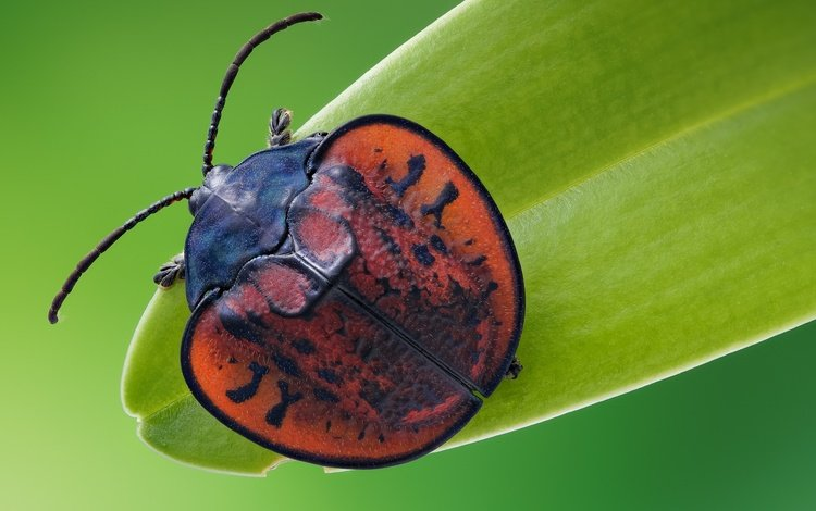 beetle, macro, insect, the leaf beetle