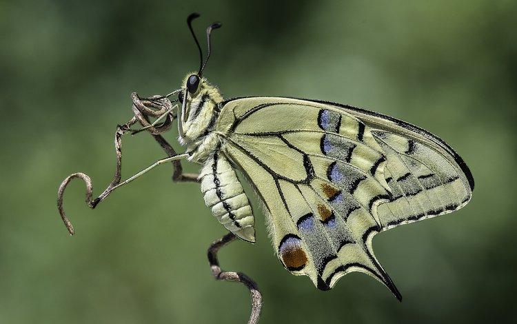 природа, насекомое, фон, бабочка, davide lopresti, махаон, nature, insect, background, butterfly, swallowtail