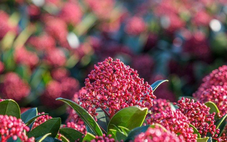 природа, цветение, листья, фон, растение, соцветия, кустарник, скиммия, nature, flowering, leaves, background, plant, inflorescence, shrub, skimmia