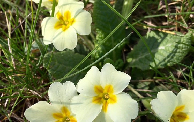 цветы, природа, весна, примула, flowers, nature, spring, primula