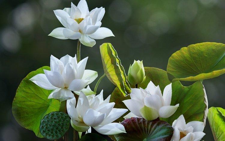 цветы, листья, лотосы, боке, flowers, leaves, lotus, bokeh