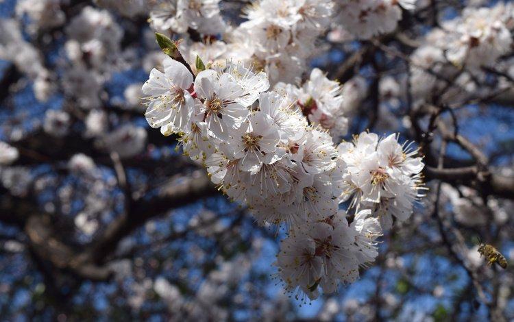небо, цветы, цветение, ветки, весна, пчелы, the sky, flowers, flowering, branches, spring, bees