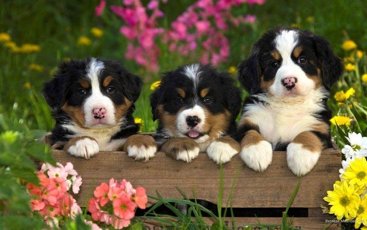 цветы, бернский зенненхунд, трава, природа, животные, лето, щенки, собаки, ящик, flowers, bernese mountain dog, grass, nature, animals, summer, puppies, dogs, box