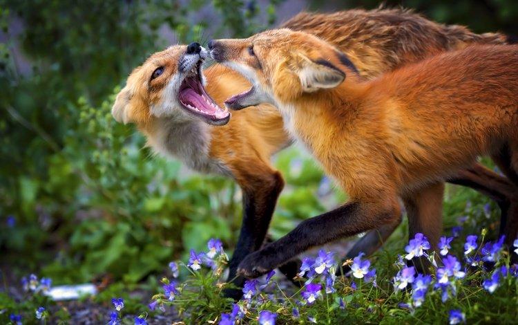 цветы, трава, животные, игра, лисица, лисы, flowers, grass, animals, the game, fox