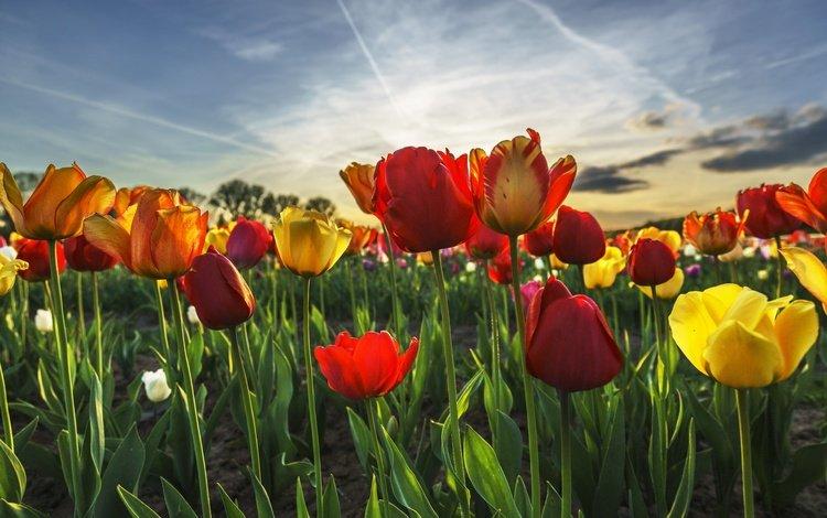 небо, цветы, весна, тюльпаны, the sky, flowers, spring, tulips