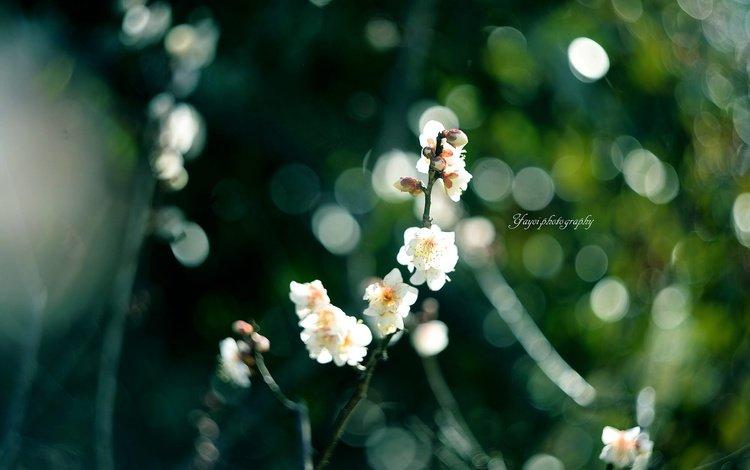 цветы, ветка, цветение, размытость, весна, сакура, yayoi, flowers, branch, flowering, blur, spring, sakura