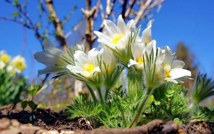 цветы, весна, сон-трава, прострел, flowers, spring, sleep-grass, cross