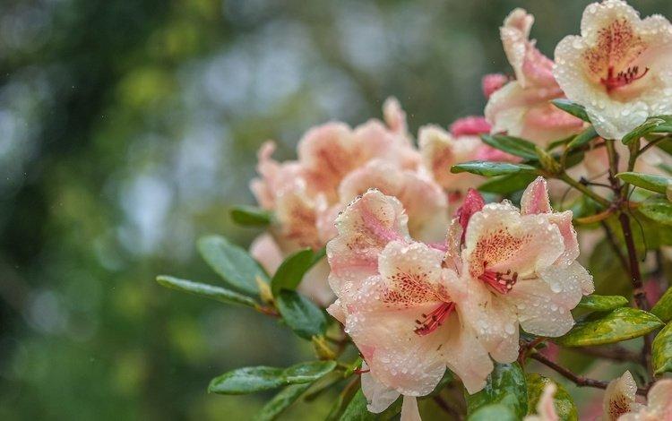 цветы, вода, капли, азалия, рододендрон, flowers, water, drops, azalea, rhododendron