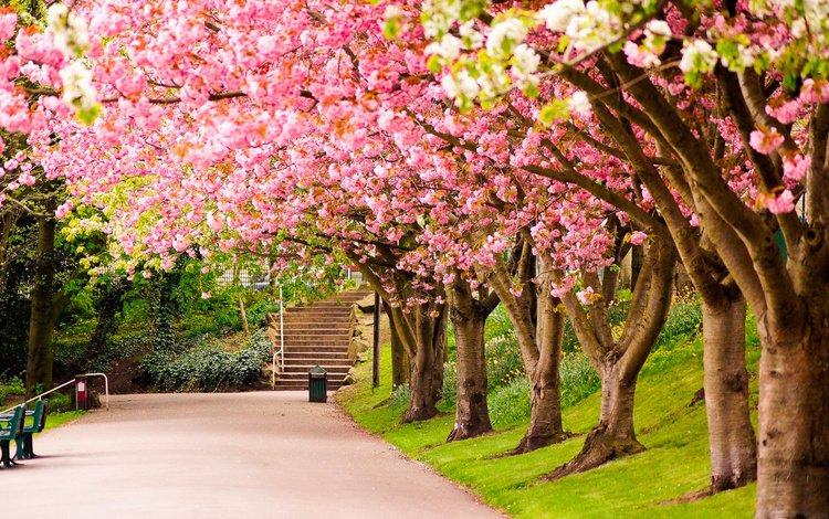 деревья, цветение, парк, великобритания, англия, сакура, аллея, шеффилд, trees, flowering, park, uk, england, sakura, alley, sheffield