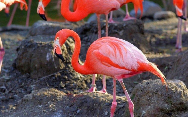 камни, фламинго, птицы, клюв, перья, stones, flamingo, birds, beak, feathers