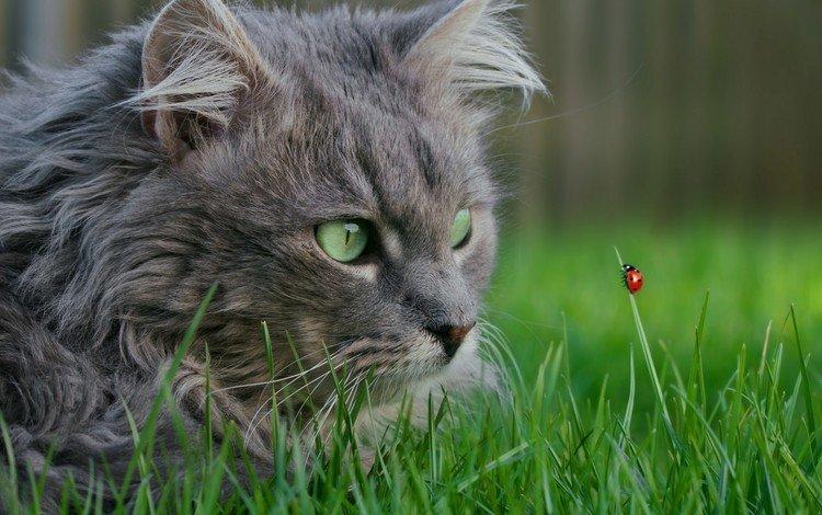трава, насекомое, мордочка, кошка, взгляд, божья коровка, зеленые глаза, grass, insect, muzzle, cat, look, ladybug, green eyes