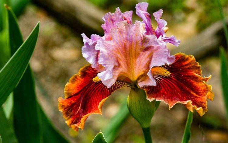 листья, цветок, лепестки, ирис, касатик, leaves, flower, petals, iris