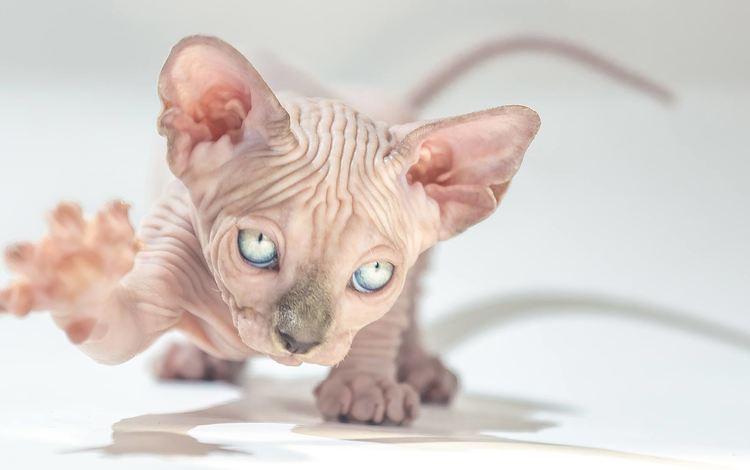 глаза, лапки, морда, сфинкс, мордочка, кошка, взгляд, котенок, уши, лапа, eyes, legs, face, sphinx, muzzle, cat, look, kitty, ears, paw