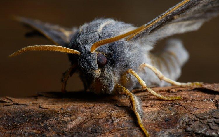 насекомое, бабочка, крылья, пух, мохнатый, лапки, мотылек, бражник тополёвый, insect, butterfly, wings, fluff, hairy, legs, moth, the poplar hawk moth