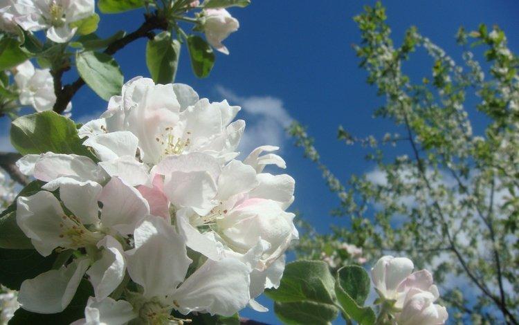 небо, облака, цветение, ветки, весна, яблоня, the sky, clouds, flowering, branches, spring, apple