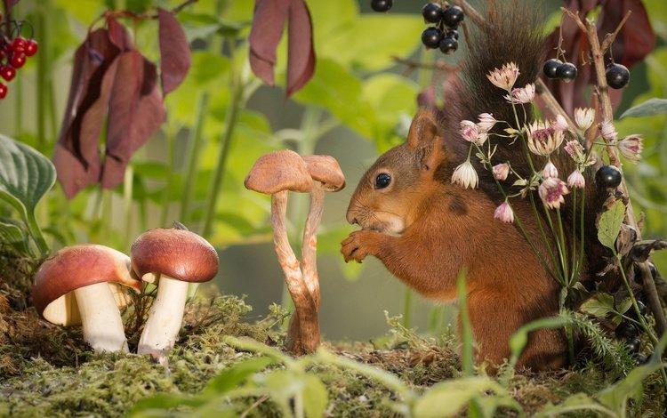 природа, грызун, листья, geert weggen, ветки, грибы, мох, ягоды, животное, белка, nature, rodent, leaves, branches, mushrooms, moss, berries, animal, protein