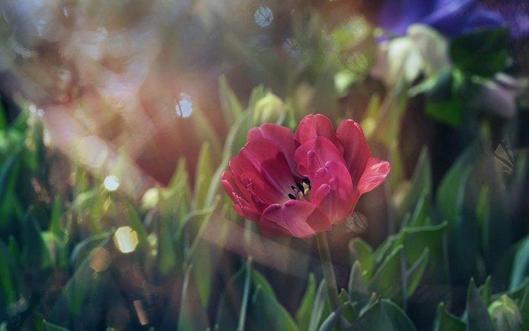 свет, цветы, трава, листья, размытость, мак, тюльпан, light, flowers, grass, leaves, blur, mac, tulip