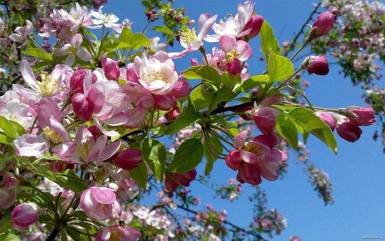 небо, цветение, весна, яблоня, the sky, flowering, spring, apple